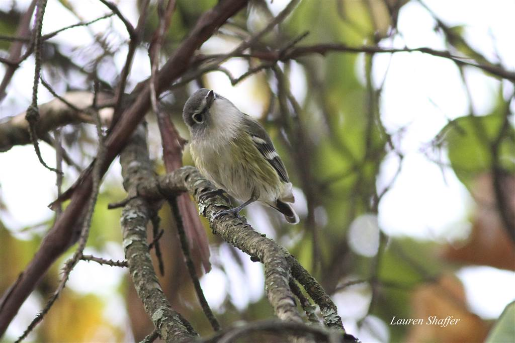 Immature Blue-Headed Vireo